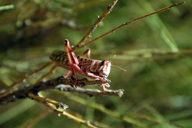 Las langostas pueden devastar los cultivos y pastos. Foto: FAO / Giampiero Diana