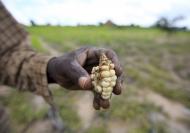 Un agricultor de susbsistencia de Zimbabwe muestra un maíz deforme que cultivó en su campo a las afueras de Harare. Crédito: FAO.