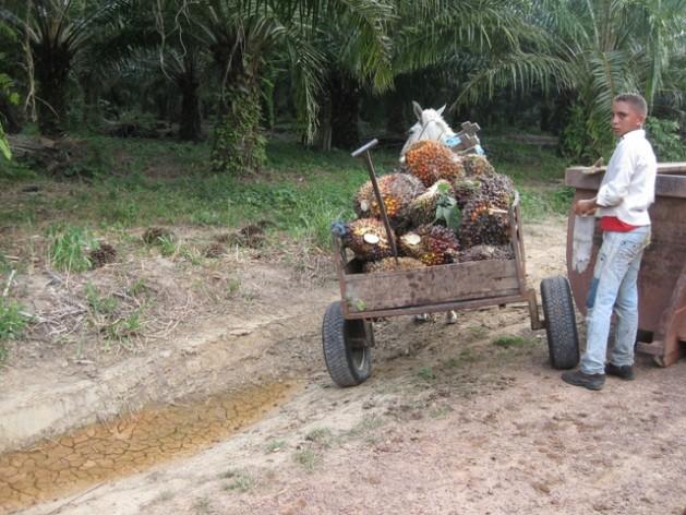 Un joven campesino transporta con un burro su cosecha de frutos y racimos de palma africana. Crédito: Mario Osava/IPS