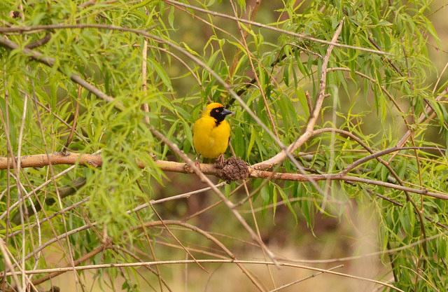 """Un tejedor está posado en una rama en el Santuario de Grullas y Reserva de Humedales en Wakkerstroom, un destino turístico local. El área es conocida por sus varias especies de grullas endémicas, que el plan de biodiversidad de la provincia de Mpumalanga identifica como """"área de óptima biodiversidad fundamental e irreemplazable"""". Crédito: Mark Olalde/IPS."""