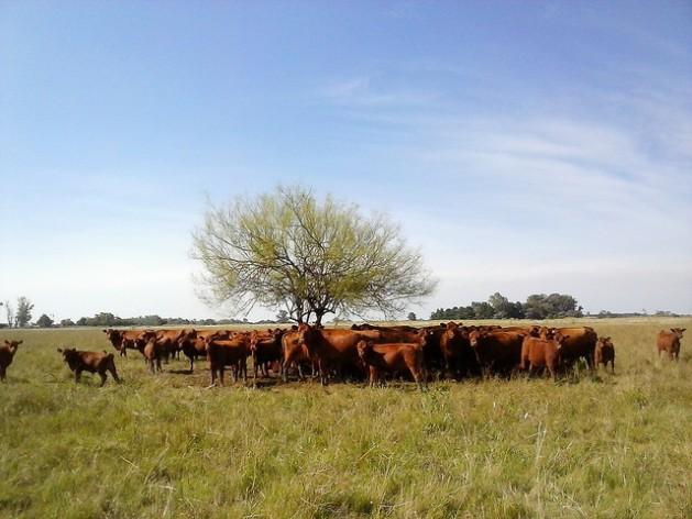 América Latina produce 23 por ciento por ciento de la carne bovina del mundo, pero este boyante sector tiene alta responsabilidad en las emisiones de gases contaminantes de la región. En la imagen, un pequeño rebaño busca cobijo en torno al único árbol del pastizal, en la pampa argentina. Crédito: Fabiana Frayssinet/IPS