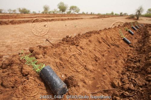 En la zona de Yibo, en Burkina Faso, se presenta el plantio en la tierra antes de plantarlo. Crédito: Giulio Napolitano/FAO