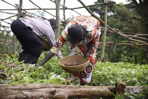 Mercy Ssekide, del distrito de Mabende, en Uganda, trabaja con su esposo en el terreno familiar. Crédito: FAO.