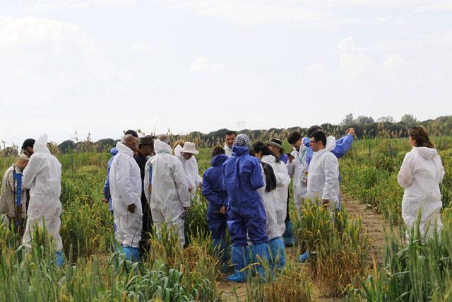 Expertos examinan una parcela de investigación cerca de Izmir, Turquía, afectada por la roya amarilla del trigo. Crédito: Fazil Dusunceli/FAO