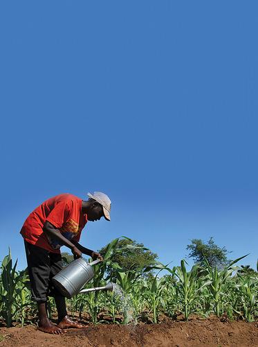 Un granjero riega un maizal en Barbados. En los últimos años, casi todos los países del Caribe han estado experimentando sequías prolongadas, lo que perjudica la producción de alimentos en una de las regiones más vulnerables al cambio climático. Crédito: Desmond Brown / IPS
