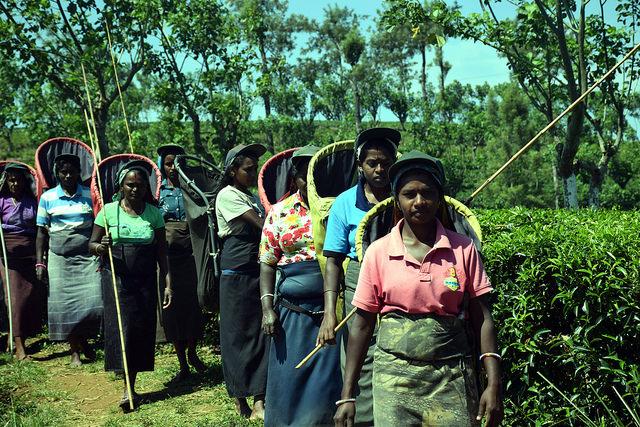 Cosechadoras en la plantación de té Bearwell, en Sri Lanka. Crédito: Stella Paul / IPS