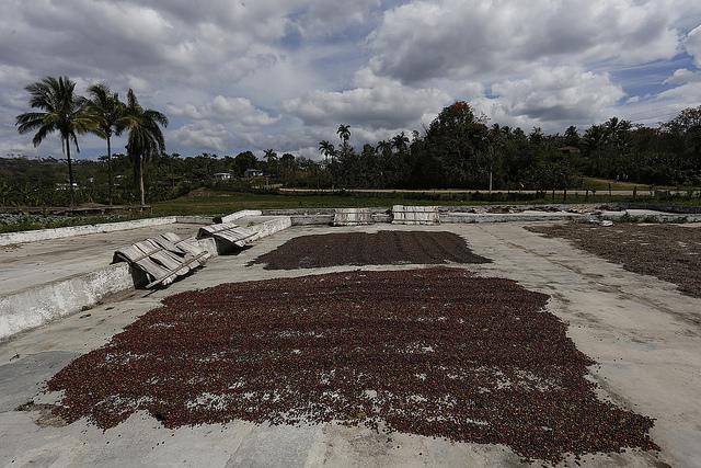 Granos de café, secados al sol en una finca del municipio de Yateras, en la oriental provincia Guantánamo, la mayor productora del grano en Cuba. Crédito: Jorge Luis Baños/IPS