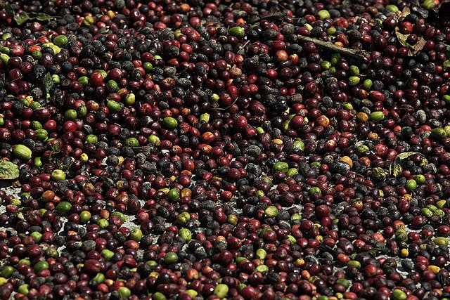 La elevación de los precios internos del café decidida por el gobierno de Cuba revive revive la economía de las laderas montañosas en el municipio de Yateras, en la oriental provincia de Guantánamo. Crédito: Jorge Luis Baños/IPS