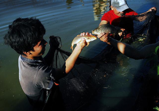 Dos carpas recién pescadas en una de las pozas familiares construidas con el apoyo de la FAO en Conda Baja, en el municipio de Pocona. La introducción de la piscicultura y las hortalizas en la producción y el consumo de las comunidades de los valles interandinos de Bolivia cambió la vida de sus pobladores. Crédito: Franz  Chávez/IPS