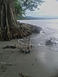 Este otro árbol de una de las playas de Balfate podría caerse en seis meses por la fuerza de las olas que labra sus raíces, como parte de la avanzada del mar. Crédito: Cortesía de Hugo Galeano para IPS