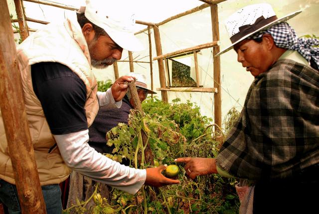 Una campesina de Phuyuwasi examina dentro de su huerto invernadero un tomate aún verde con Remmy Crespo, el coordinador de la FAO en el departamento central de Cochabamba, en Bolivia. Crédito: Franz Chávez/IPS