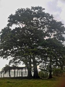 Este hermoso árbol dejará de ser paisaje y barrera natural de defensa en poco tiempo en las playas de Balfate, en el centro de las costas caribeñas de Honduras, prevén los expertos. Crédito: Cortesía de Hugo Galeano para IPS