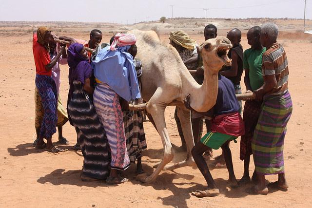 Pastores desplazados ayudan a un camello a ponerse de pie al no tener la fuerza suficiente para soportar su propio peso. Crédito: James Jeffrey/IPS