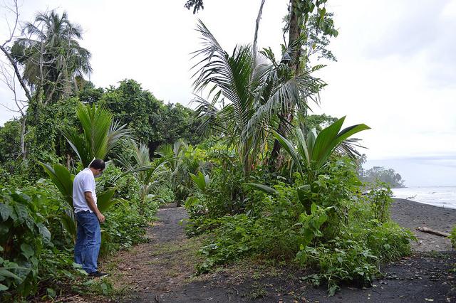 El biólogo Julio Barquero mira algunas de las palmeras plantadas en Puerto Vargas para reforzar la línea costera contra los embates del mar Caribe, que amenaza con erosionar la zona, en Cahuita, en la provincia de Limón, en el sureste de Costa Rica. Crédito: Diego Arguedas Ortiz/ IPS