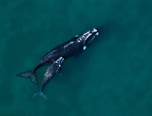 La ballena franca austral llega todos los años a aparearse frente a las costas de la península de Valdés, en la provincia de Chubut, al sureste de Argentina, y es un gran atractivo turístico. Crédito: Cortesía de Mariano Sironi