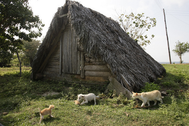 """Los ranchos """"vara en tierra"""", unas construcciones tradicionales de los campesinos cubanos destinadas a guardar las cosechas, han pasado a ser utilizadas con éxito para guarecerse ante los huracanes o lluvias tropicales, gracias a sus techos de hoja de palma muy oblicuos y pegados al suelo. Crédito: Jorge Luis Baños/IPS"""