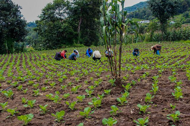 Pequeños agricultores del departamento de San Marcos, en Guatemala, que se han capacitado para la producción de vegetales destinados a la exportación, trabajan en uno de sus cultivos. Crédito: Rubí López/FAO