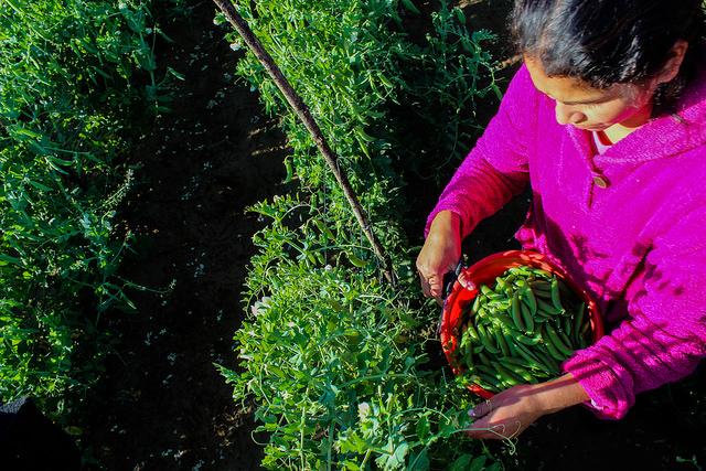 Una agricultora recolecta guisantes que después llevará al centro de procesamiento, Parte de una industria de vegetales para la exportación que se ha convertido en una oportunidad laboral y de arraigo para diferentes comunidades del departamento de San Marcos, en Guatemala. Crédito: Gustavo Sánchez/FAO