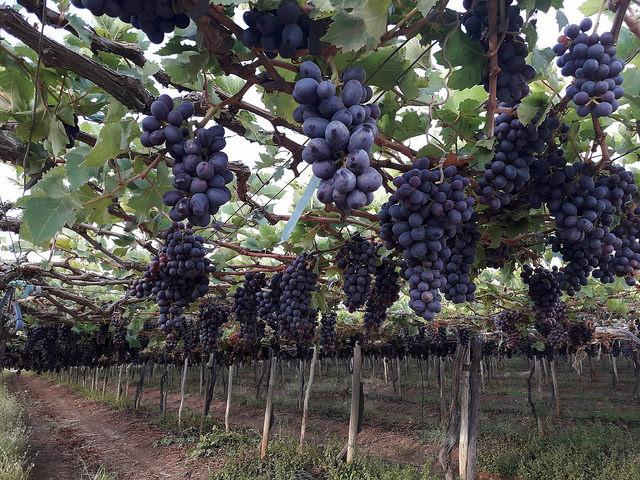 Parte de los extensos viñedos de la compañía Especial Fruit, en el valle del río São Francisco, donde proyectos de irrigación han permitido establecer un polo de fruticultura para exportación, en la ecorregión del Semiárido, en el nordeste de Brasil. Crédito: Fabiana Frayssinet/IPS