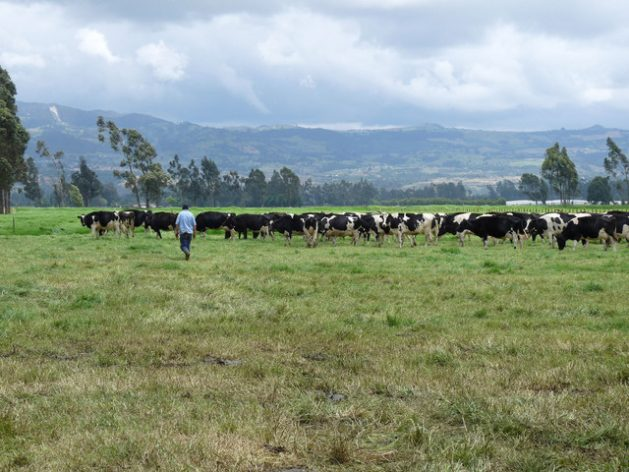 La FAO apoyará a los países para establecer la estrategia regional de ganadería sostenible. Crédito: FAO