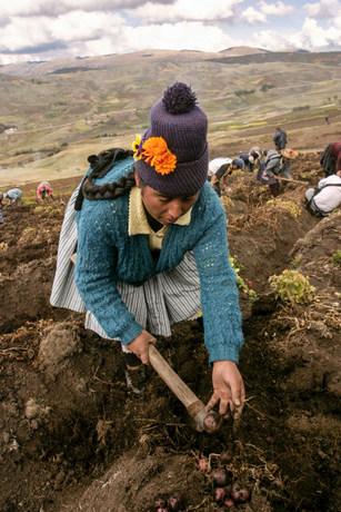 Una campesina extrae papas de un terreno comunitario en la región alto andina de Huancavelica, la zona de Perú con más variedades nativas del tubérculo. Crédito: Mariela Jara/IPS
