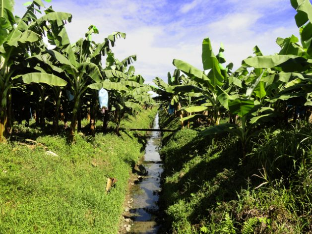Una plantación de banano, uno de los principales cultivos del mundo y del que la América Latina exporta 76 por ciento del fruto. Ahora, la región tiene una guía para reducir la huella de carbón y agua de su producción bananera. Crédito: Sergio Laprade/FAORLC