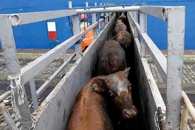Algunos de los 25.000 bueyes vivos, mientras eran transportados al barco Nada, en el Porto de Santos, en el sur de Brasil. Crédito: Cortesía del Foro Nacional de Protección y Defensa Animal