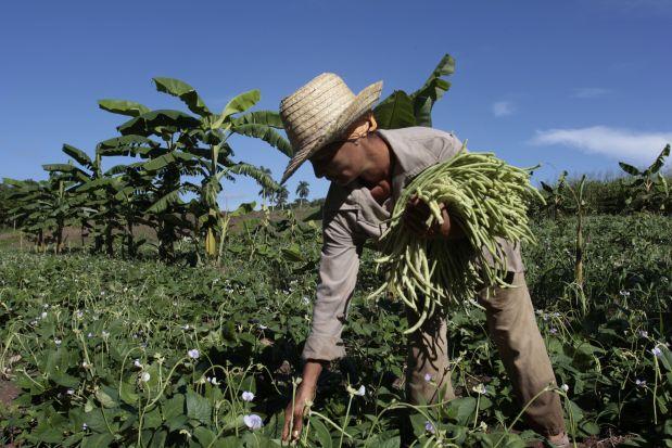 Una mujer recolecta habichuelas en una parcela del capitalino municipio de Guanabacoa. Sin del despegue esperado, la entrega de tierras ociosas en usufructo a personas naturales y jurídicas que se comprometan a hacerlas producir reanimó el sector agropecuario cubano. Actualmente, se registran 151.000 usufructuarios en 1,2 millones de hectáreas entregadas por el Estado. Crédito: Jorge Luis Baños/IPS
