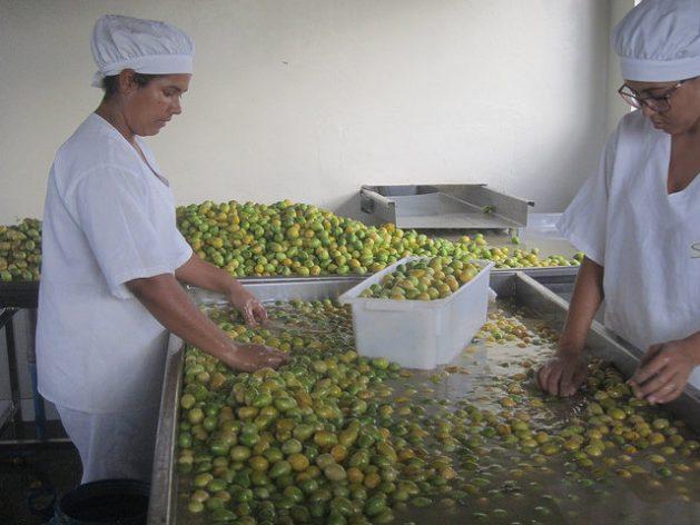 Dos operarias seleccionan manualmente umbús-cajás, en la fábrica de la Cooperativa Ser do Sertão, en Pintadas en el nordestino estado brasileño de Bahia, mientras se realiza el primer lavado de la fruta. Es la parte más lenta de la cadena de producción de pulpas de frutas nativas de la ecorregión del Semiárido, en un proyecto con mano de obra solo femenina. Crédito: Mario Osava/IPS