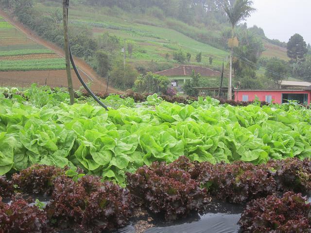 Una huerta en Santa Maria de Jetibá, de la Cooperativa de Agricultores Familiares de la Región Serrana, que tiene 220 socios y es la mayor proveedora de verduras y frutas para las escuelas del municipio de Vitoria, en el sudeste de Brasil. Crédito: Mario Osava/IPS