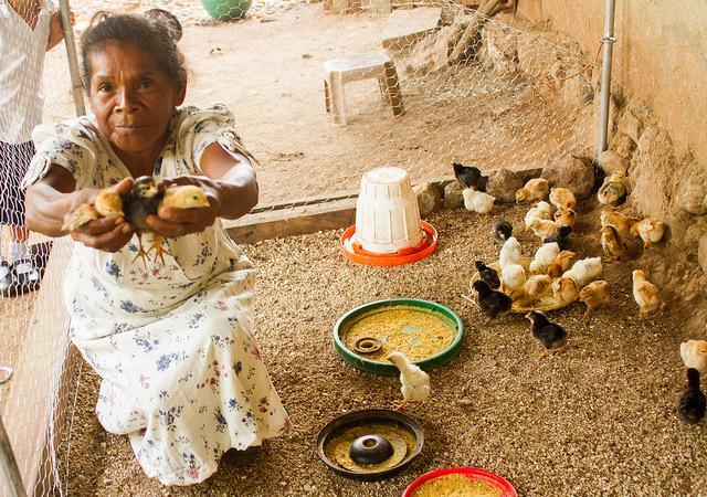 Ofelia Chávez muestra algunos de los polluelos entregados a las familias del caserío La Colmena, en Candelaria de la Frontera, en el departamento de San Ana, El Salvador, para fomentar la crianza de aves en esta aldea campesina. Crédito: Edgardo Ayala/IPS