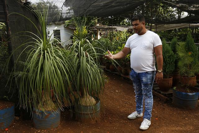 El productor Maikel Núñez obtiene plantas ornamentales conocidas como pata de elefante, en el vivero orgánico Majagual, ubicado en el barrio de Barbosa, en el municipio de la Lisa, uno de los que conforman la capital de Cuba. Crédito: Jorge Luis Baños/IPS