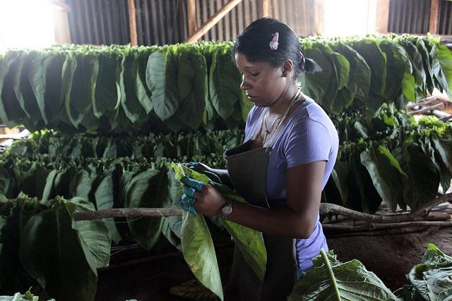 Hasta 1962, Cuba fue el mercado natural de Estados Unidos para sus exportaciones de tabaco, pero el embargo de Washington contra la isla bloqueó desde entonces ese comercio. En la imagen, una joven trabajadora pone a secar en una finca tabacalera las hojas de uno de los productos más emblemáticos del país. Crédito: Jorge Luis Baños/IPS