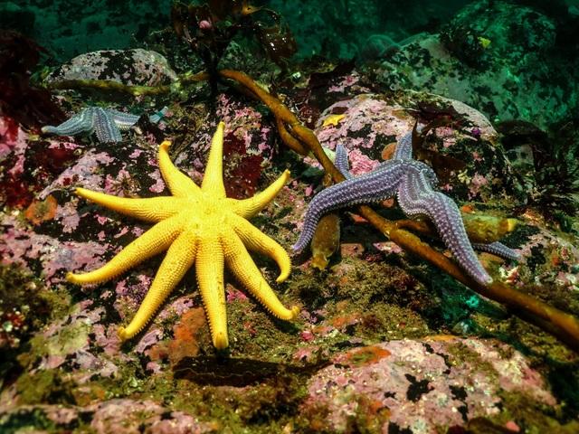 Estrellas de mar en los fondos marinos del Canal de Beagle, en el océano Atlántico Austral, donde el gobierno argentino impulsa el desarrollo de la cría de salmones. El llamado mar Patagónico es considerado una de las áreas oceánicas más productivas del hemisferio sur. Crédito: Cortesía de Beagle Secretos del Mar