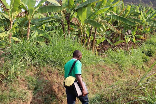 Funcionario del proyecto realiza una evaluación de la situación de la marchitez del banano Xanthomonas (BXW), una enfermedad bacteriana en el distrito de Muhanga, Ruanda. Crédito: Cortesía: Julius Adewopo/Instituto Internacional de Agricultura Tropical (IITA).