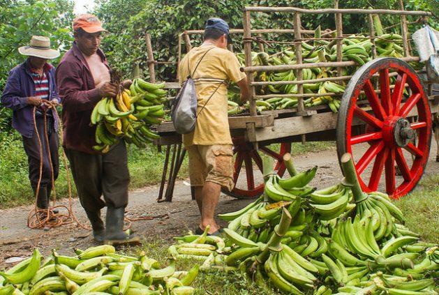 El agricultor Alberto Flores (centro) se esmera en colectar los pocos racimos de plátano que logró rescatar de su plantación, anegada y arruinada tras las lluvias que azotaron El Salvador a mediados de octubre. Calcula sus pérdidas por este rubro en 2.000 dólares. Antes, en agosto, perdió la cosecha de maíz, esta vez por la sequía. Crédito: Edgardo Ayala/IPS