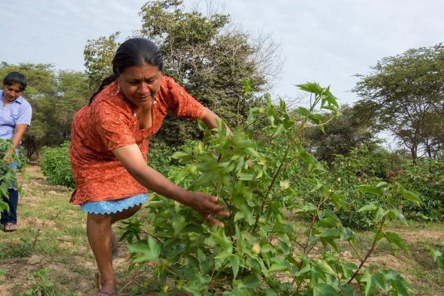 Dos productoras revisan las flores de algodón nativo de colores, en el distrito de Mórrope, en el departamento de Lambayeque, en Perú. Crédito: Imanol Camblor/FAO
