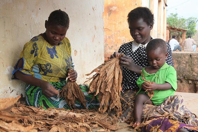 Mujeres en Kasungu, un distrito agrícola en la región Centro de Malawi seleccionan hojas secas de tabaco para vender en el mercado. Crédito: Mabvuto Banda/IPS.