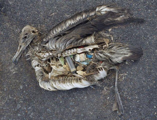 Un albatros muerto disecándose, mientras los desechos de plástico que había ingerido permanecen. Crédito; Chris Jordan/Wikimedia Commons