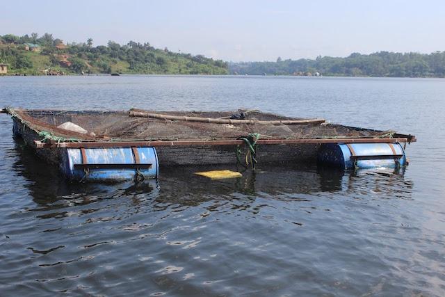 Ejemplo de jaula utilizada para la piscicultura en jaula en el lago Victoria, en África. Crédito: Wambi Michael/IPS.
