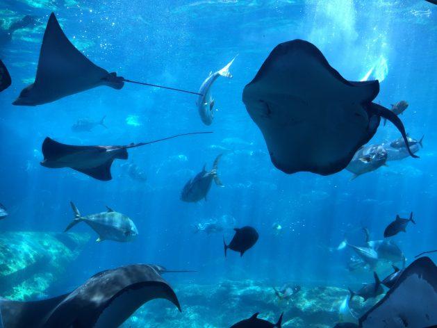Las rayas se encuentran en el océano Índico, donde están las islas Seychelles, que se convirtieron en el primer país en contar con bonos azules para financiar proyectos que usen recursos marinos de forma sostenible. Crédito: Nalisha Adams/IPS.