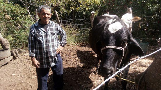 Gilberto Gómez junto a la vaca que adquirió con el apoyo de sus hijos migrantes en Estados Unidos y con los que alivia las pérdidas de sus cultivos de subsistencia, en el caserío de La Colmena, en el municipio de Candelaria de la Frontera, en el occidente de El Salvador. Forma parte del Corredor Seco centroamericano, donde la creciente vulnerabilidad climática incrementa la migración de la población rural. Crédito: Edgardo Ayala/IPS