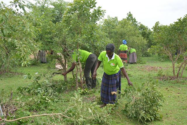 Agricultores realizan una poda periódica en Susudi, en la región Alta Oriental, en Ghana. Crédito: Albert Oppong-Ansah/IPS.
