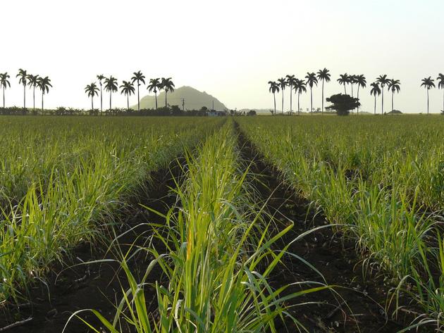 Una plantación de caña de azúcar crece en áreas vecinas al central Heriberto Duquesne, en la provincia de Villa Clara, en Cuba. Crédito: Cortesía de Azcuba