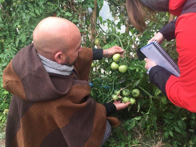 El director de la escuela rural de Samo Alto, Omar Santander, muestra tomates orgánicos en el invernadero que construyeron maestros y familiares de los estudiantes, quienes cuidan los cultivos regados con agua de lluvia o reciclada, en Coquimbo, una región del norte de Chile que sufre gran escasez de lluvia. Crédito: Orlando Milesi/IPS