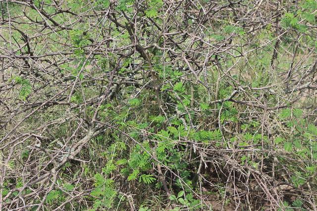 El arbusto falciforme y su rápido crecimiento, ayudado por el aumento de las temperaturas, lo ha convertido en una gran amenaza para los esfuerzos de conservación de la vida silvestre de Uganda. Crédito: Wambi Michael/IPS