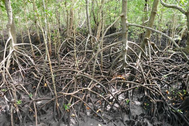 Los manglares, como este de Tanzania, pueden secuestrar cinco veces más carbono que otros bosques tropicales. Crédito: GRID-Arendal
