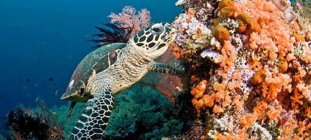 Una tortuga marina nada en un arrecife de coral en las Islas Maldivas. Crédito: Jayne Jenk/ Coral Reef Image Bank