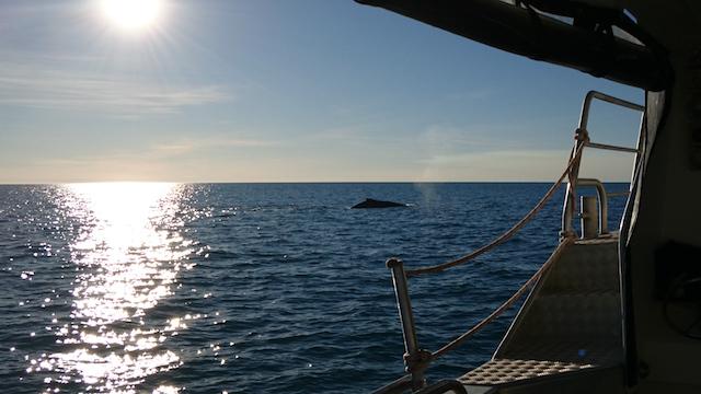 Las ballenas jorobadas migran cada año para parir desde las frías aguas del sur de la Antártida a las cálidas aguas del norte de la región de Kimberley, en Australia occidental. Las ballenas jorobadas, que llegan en manadas, algunas enormes, se aparean y dan a luz en el océano Índico alrededor de la ciudad turística de Broome, en esa región. Crédito: Neena Bhandari / IPS