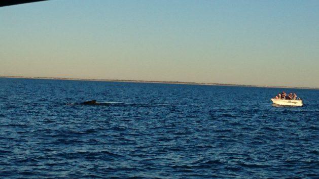 El avistamiento de ballenas en sus hábitats se ve como una alternativa ética a esa actividad en cautiverio, que contribuye a crear conciencia y educar a las personas sobre los cetáceos y la conservación marina, además de proporcionar una plataforma para la investigación y la recopilación de datos científicos. Pero los expertos advierten que esa observación debe ser monitorea permanentemente tiene que cumplir con la legislación, para evitar daños para esa fauna y sus ambientes marinos. Crédito: Neena Bhandari / IPS